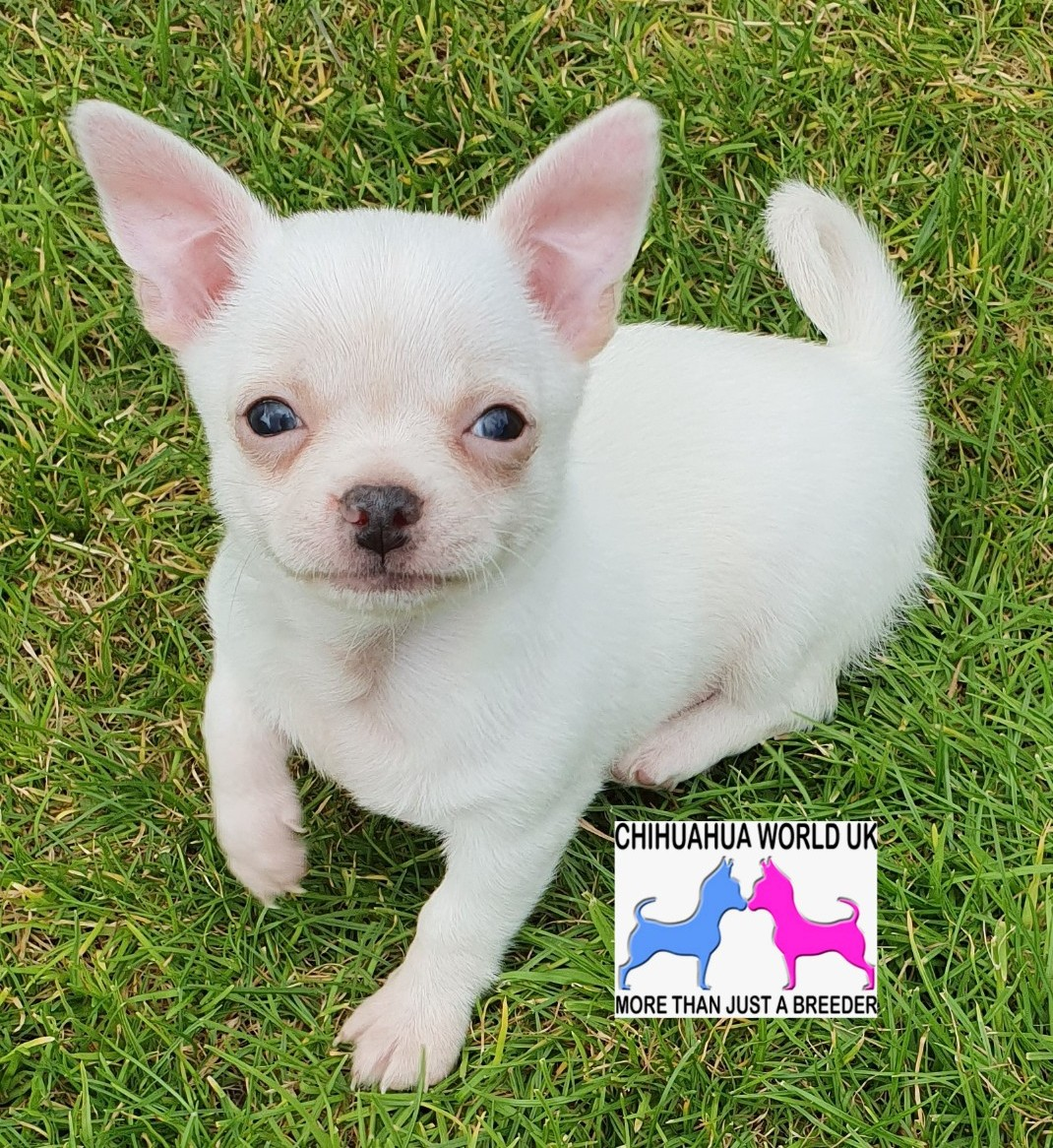 Chihuahua World UK - Chihuahua Breeding