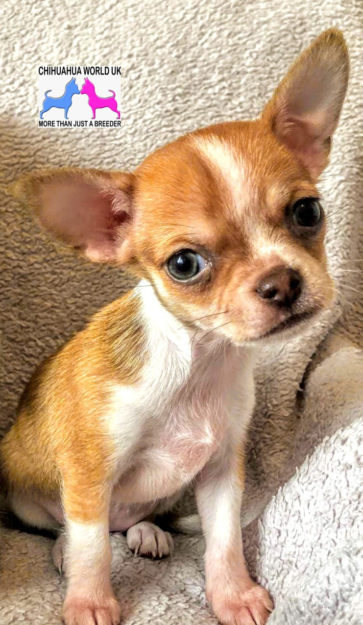Chihuahua World UK - Home of the UK's best Chihuahua Puppies for Sale