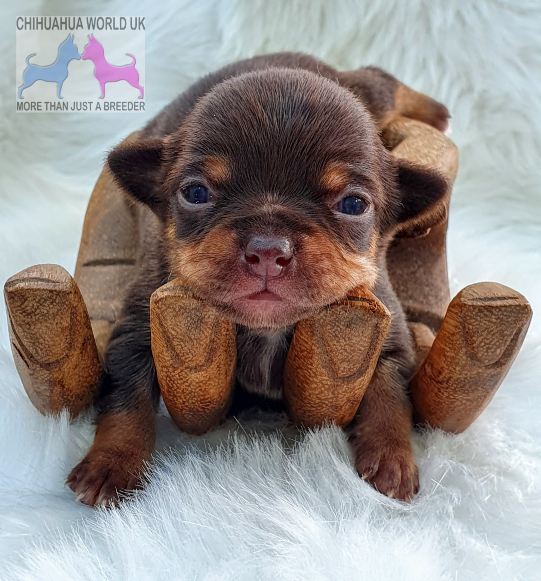 Chihuahua World Uk Home Of The Uk S Best Chihuahua Puppies For Sale