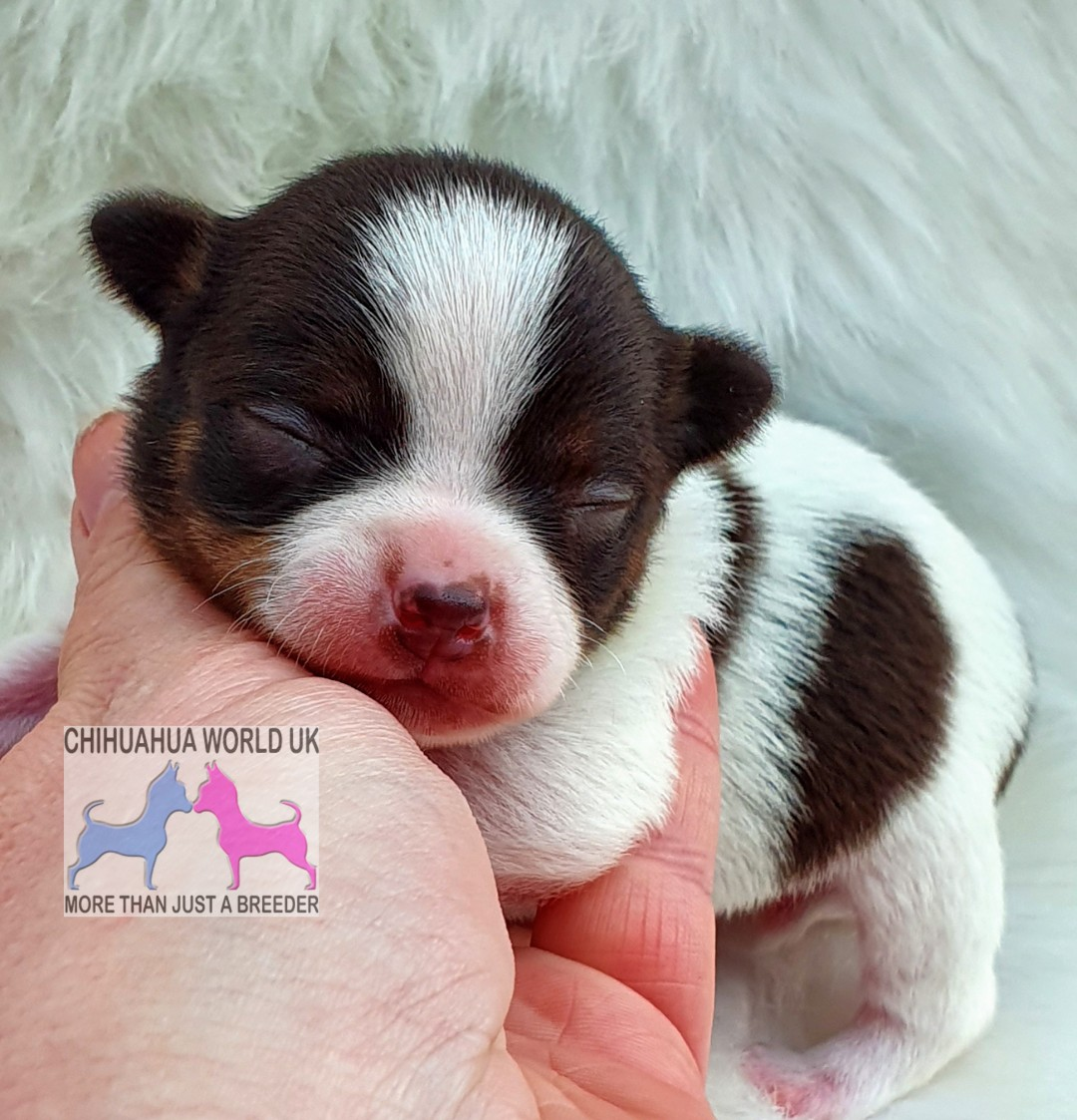 Chihuahua World Uk Rspca And The Kennel Club
