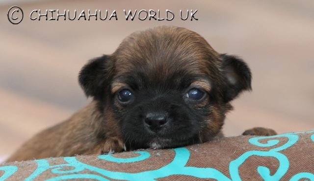 Chihuahua Faq Frequently Asked Questions About Chihuahua ...