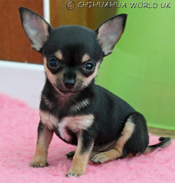 Adorable Chihuahua For Sale Uk