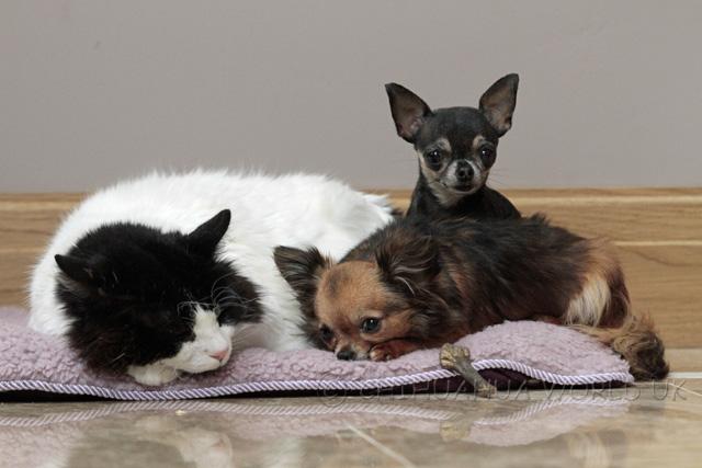 Chihuahua World UK - Teacup Chihuahua